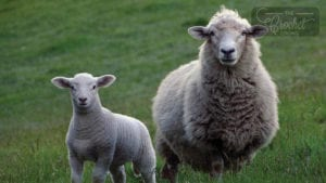 Wool Comparisons